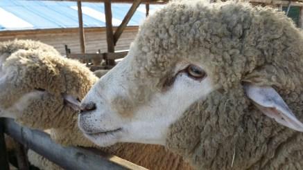 フリース 羊