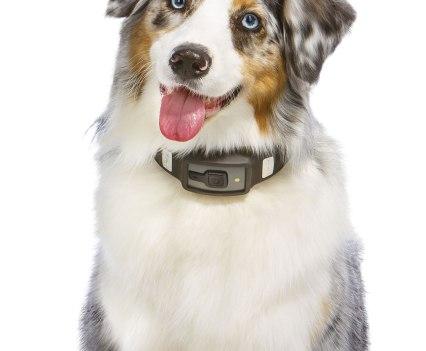 Cão Australian Shepherd com Voyce, da i4C Innovations