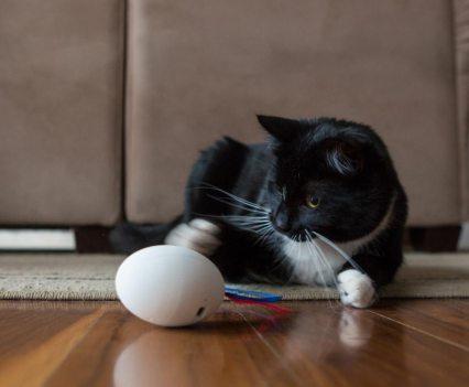 Gatos. Shru, o companheiro inteligente
