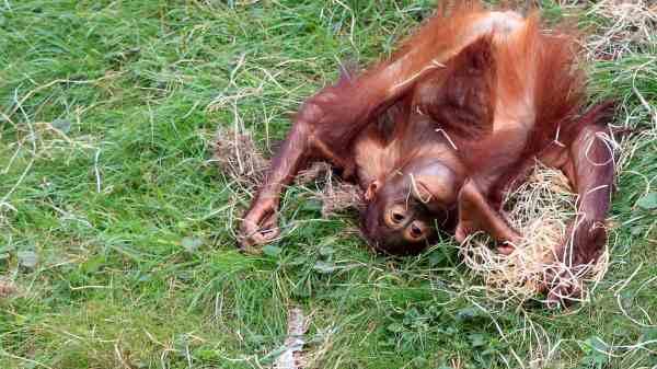 Upside down Orangutan monkey ape