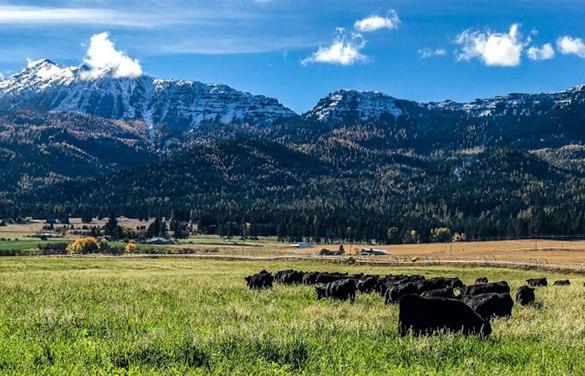 2020 Private Treaty Aged Advantaged Angus Bull Sale