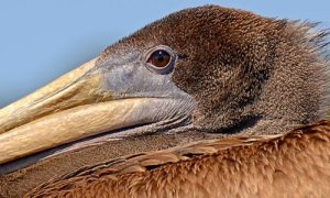 Stewardship Traveler - Pelican