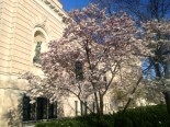 A tulip tree outside the Detroit Institute of Arts