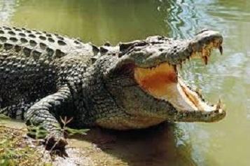 मगरमच्छ पर निबंध Short Essay On Crocodile In Hindi Language