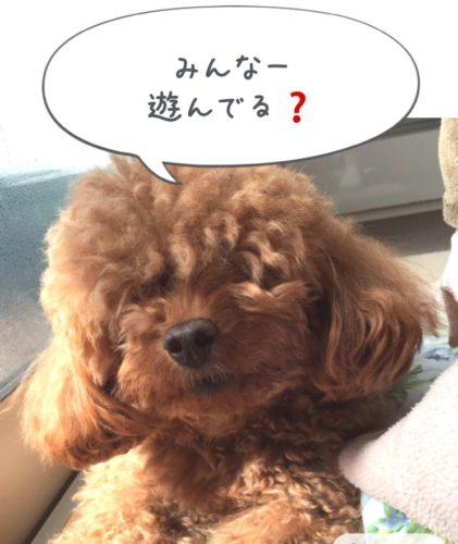 全盲トイプードル・保護犬