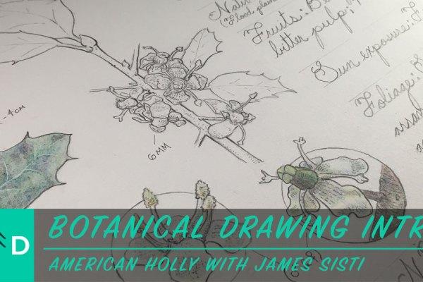 botanical drawing american holly