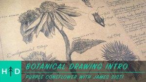 botanical drawing purple coneflower
