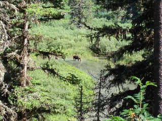 (KF) A moose in the St. Mary river spotted on the hike back to Jackson Glacier Overlook.