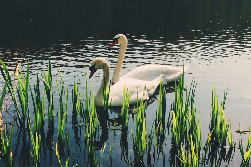 Swans at Teufelssee