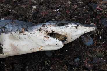 The remains of an unknown, 75 cm shark.