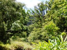 Mangobäume, Guaven, sattes Grün