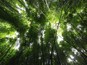 Musizierender Bambuswald