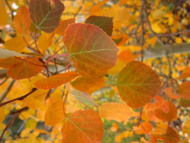 Aspen leaves changing color, Populus tremuloides in Colorado. Going on a fall hike? We have the 10 hiking essentials you will need on the trail