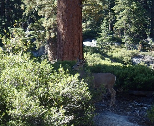 Deer on the trail near Taft Point