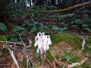 Apparently this relatively rare type of fungus (called Indian Pipe) has some pollen because that bee was having a field day inside those bells ...