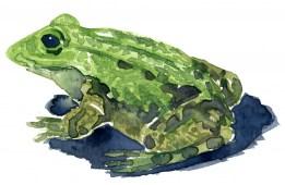 Marsh frog watercolor