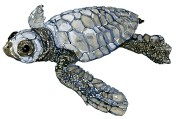 Baby leatherback turtle in Watercolor
