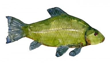 Watercolour of tench
