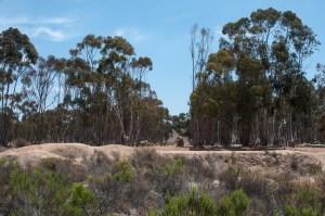 Grove of eucalyptus trees bordering Otay Valley Regional Park