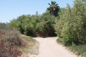 Fork in the Luiseno trail at Guajome Park in Oceanside