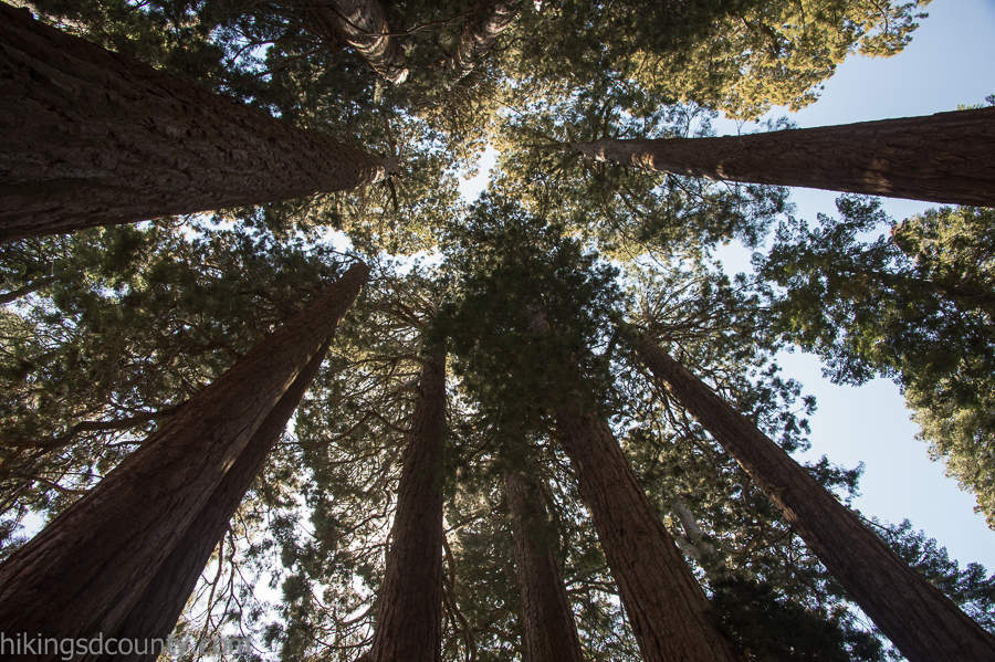 Looking up at the Muir Grove in Sequoia National Park