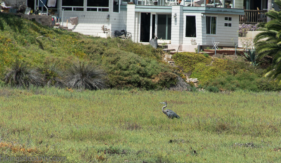 A Great Blue Heron at San Elijo Lagoon