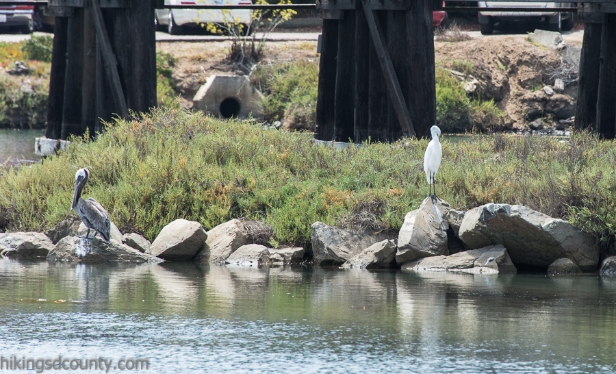 A brown pelican and great heron at San Elijo Lagoon