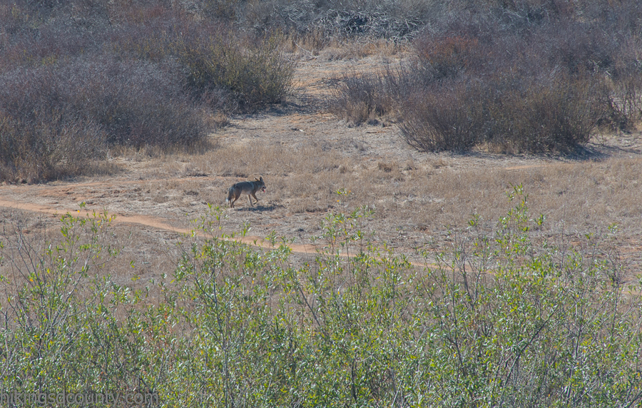 A coyote makes his way across land near the Big Rock trail
