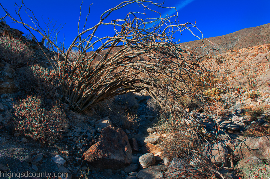 An errant ocotillo bush obstructs the path