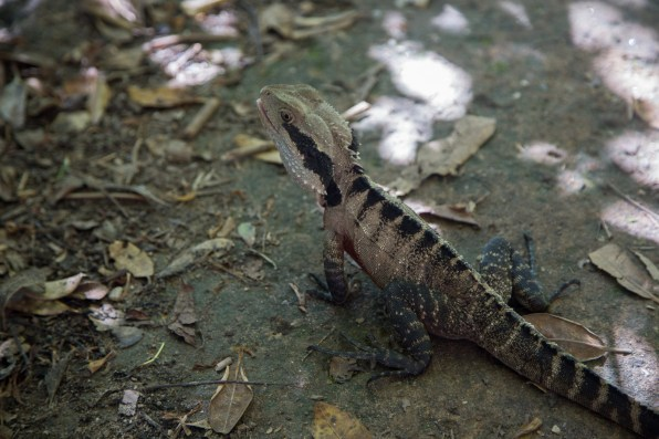 Eastern Water Dragon by the track