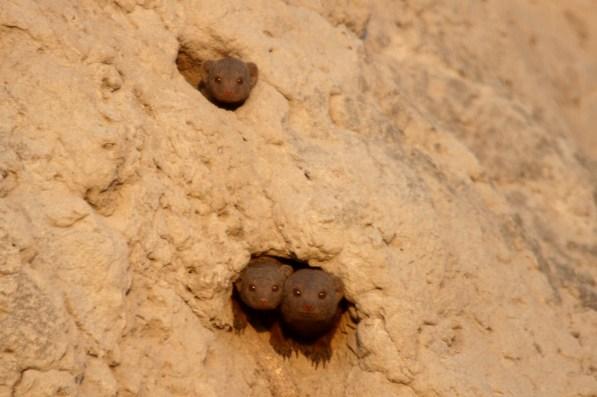 Dwarf mongoose taking residence in a termite mound