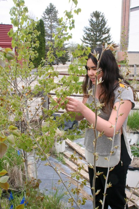 Sophia is surveying leaves at the GxE common garden.