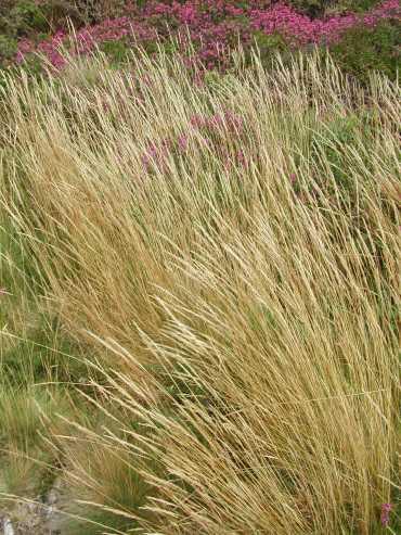 Long grass on St Agnes Beacon