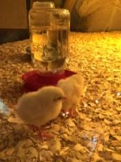 Baby Chicks in the Genetics Exhibit