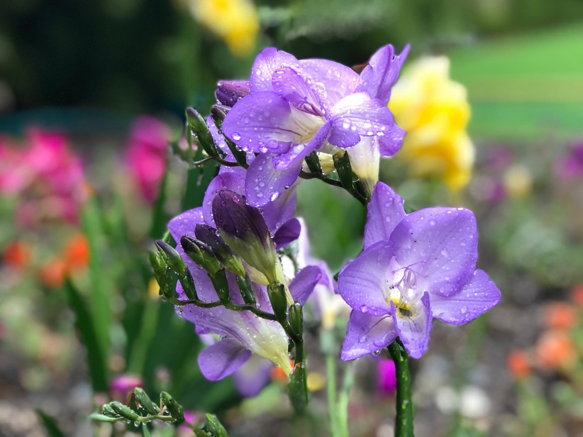 Spring Flowers Abloom in Los Angeles, California #freesia