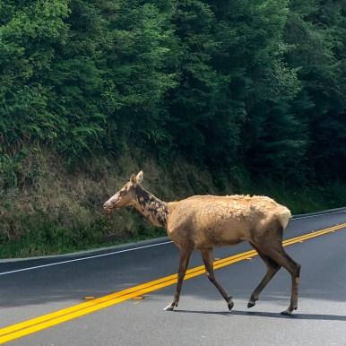 Wild Elk Herd Trinidad, California