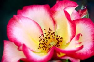 International Test Rose Garden Portland Oregon
