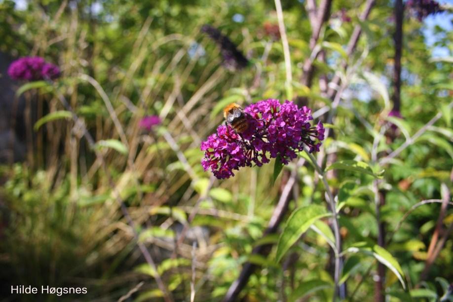 hildehogsnes_humle_sommerfuglblomst_blomst_plante_sommerdikt_dikt_om_sommer