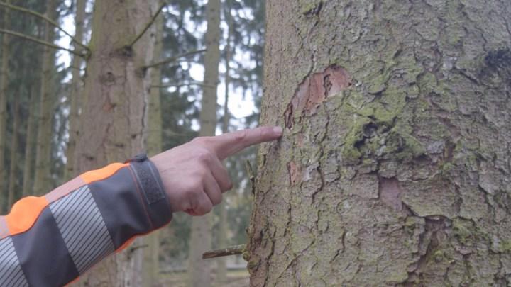 Wildgatter: Borkenkäferbefall erfordert weitere Fällungen