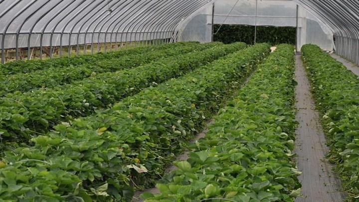 Die ersten heimischen Erdbeeren sind da