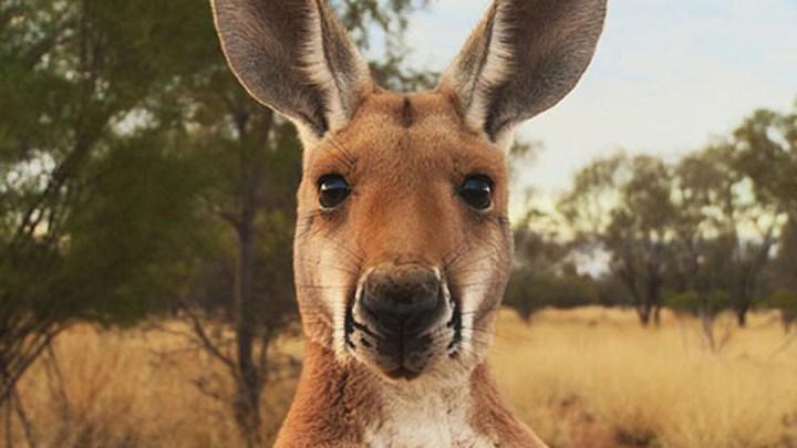 Händler setzen weiter auf Känguru-Fleisch