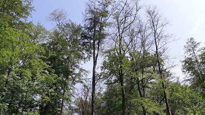 Buchen leiden unter Wassermangel, an Trockenstress und Sonnenbrand – Niedersächsische Landesforsten besorgt