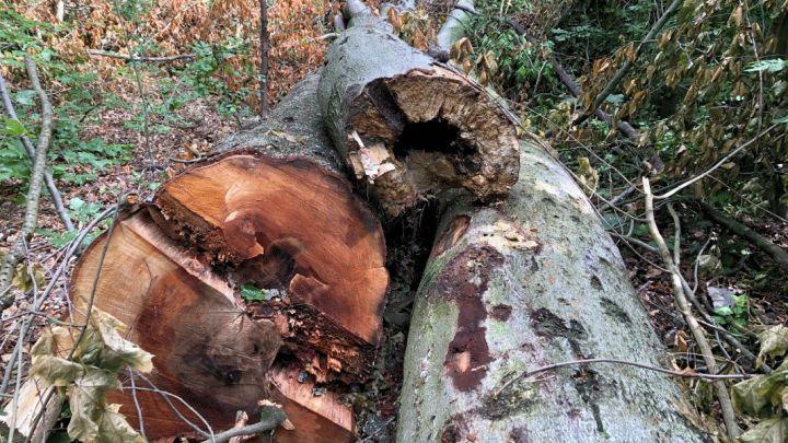 Baumfällungen am Berghölzchen erfordern Vollsperrungen