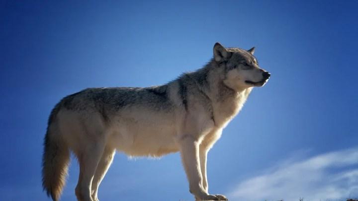 Kein rechtlicher Rahmen für Niedersachsens Wölfe, sondern Dauerbeschuss – Schutzstatus für die Wölfe soll durch die Hintertür aufgehoben werden