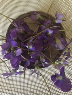 Violets picked for homemade candied violets