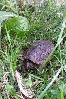 turtlebaby2