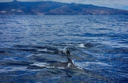 delfine vor gomera