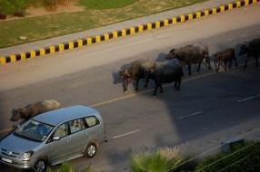Buffalo traffic
