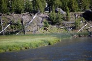 Grizzly bear across the Madison River