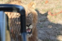 Lion getting shade from Land Rover